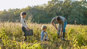 Agriculteur avec des enfants moissonnant la patate douce organique sur le champ de la ferme d'eco photos stock