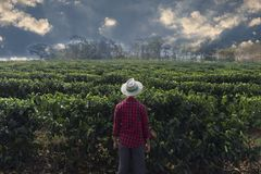 Agriculteur avec le chapeau regardant le champ de plantation de café image libre de droits