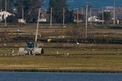 Agriculteur avec le tracteur dans le domaine de riz Photo libre de droits