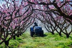 Agriculteur avec le tracteur utilisant un pulv?risateur de jet d'air avec un insecticide ou un fongicide chimique dans le verger  photographie stock