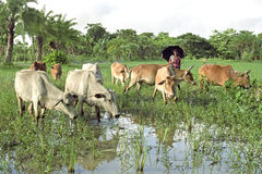 Agriculteur bangladais avec des vaches sur la route à frôler Image stock