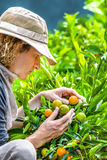 Agriculteur Checking Tangerines Photos libres de droits