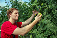 Agriculteur Checking Tomato Plants en serre chaude Photo libre de droits