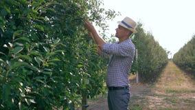 Agriculteur d'Apple dans le chapeau de paille inspectant des fruits sur une branche d'arbre dans son verger le jour ensoleillé clips vidéos