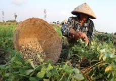Agriculteur d'arachide Images libres de droits