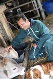Agriculteur d'homme alimentant et choyant des vaches Photographie stock libre de droits