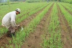 Agriculteur d'oignon rouge Images libres de droits