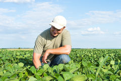 Agriculteur dans des domaines de soja Photographie stock libre de droits