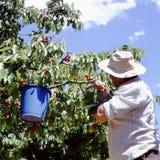 Agriculteur de cerise havesting dans son verger images stock
