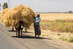 Agriculteur de pois chiche transportant leurs marchandises par l'âne Photo stock