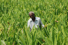 Agriculteur de tabac Images stock
