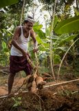 Agriculteur de tapioca dans l'Inde Image libre de droits