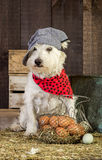 Agriculteur Dog Gathering les oeufs Image stock