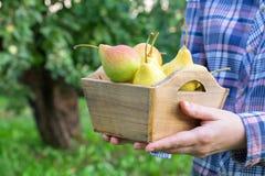 Agriculteur féminin tenant la boîte de plusieurs poires dans des ses mains image libre de droits