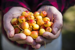 Agriculteur Hands Holding Crabapple Photos stock