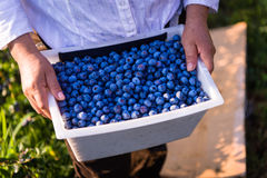 Agriculteur Harvesting Blueberries Photographie stock libre de droits
