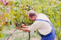 Agriculteur Harvesting Grapes Photos stock