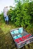 Agriculteur Harvesting Rasberries Images stock
