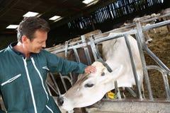 Agriculteur heureux choyant la vache dans la grange Photo stock