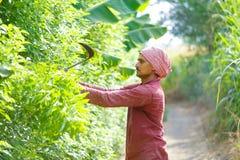 Agriculteur indien avec des faucilles dans son domaine photos libres de droits