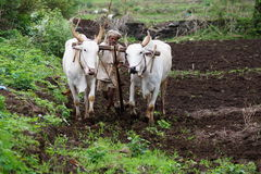 Agriculteur indien avec le taureau woring dans la ferme Images stock