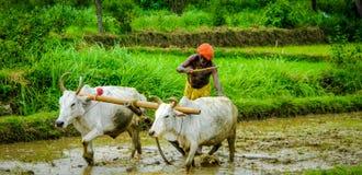 Agriculteur indien labourant la rizière avec des buffles image libre de droits