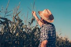 Agriculteur inspectant le gland de maïs images libres de droits