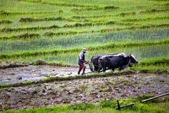 agriculteur labourant avec le chariot de boeuf Photographie stock libre de droits