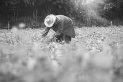 Agriculteur local thaïlandais moissonnant une patate douce (ignames) dans un domaine, fil photographie stock libre de droits