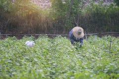 Agriculteur local thaïlandais moissonnant une patate douce (ignames) dans un domaine, image filtrée, foyer sélectif, effet de la  photographie stock
