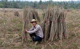 Agriculteur masculin Sitting au beau milieu du membre de tapioca qui a coupé la pile ensemble dans la ferme photographie stock