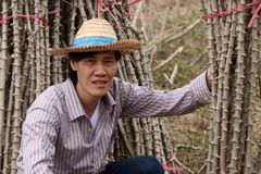 Agriculteur masculin Sitting au beau milieu du membre de tapioca qui a coupé la pile ensemble dans la ferme photographie stock libre de droits