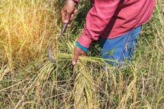 Agriculteur moissonnant le gisement de riz par la faucille dans la rizière Image libre de droits