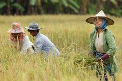 Agriculteur moissonnant le riz Photo stock