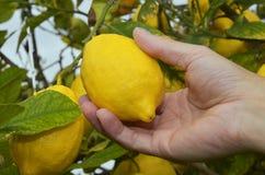Agriculteur moissonnant les citrons mûrs Images libres de droits