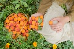 Agriculteur montrant le panier complètement des abricots image libre de droits