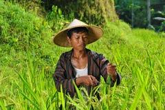 Agriculteur organique travaillant et moissonnant le riz Photos stock