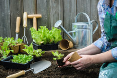 Agriculteur plantant de jeunes jeunes plantes Photographie stock libre de droits