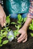 Agriculteur plantant de jeunes jeunes plantes Image libre de droits