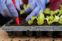Agriculteur plantant de jeunes jeunes plantes de salade de laitue images stock