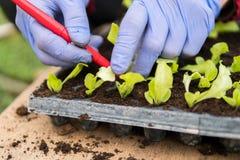 Agriculteur plantant de jeunes jeunes plantes de salade de laitue images libres de droits