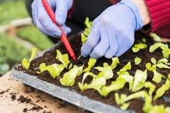 Agriculteur plantant de jeunes jeunes plantes de salade de laitue photographie stock libre de droits