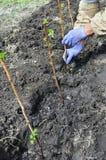 Agriculteur plantant une jeune plante de framboise Image stock