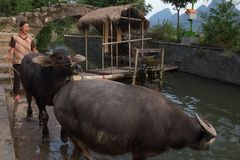 Agriculteur Pulling Buffalo à Guilin images stock