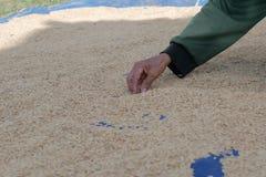 Agriculteur rassemblant des déchets dans le paddy sec image stock