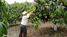 Agriculteur rassemblant le fruit tropical de mangue dans l'arbre dans une plantation manuellement clips vidéos