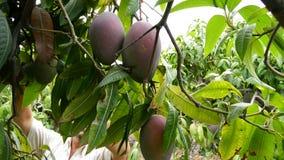 Agriculteur rassemblant le fruit tropical de mangue dans l'arbre manuellement banque de vidéos