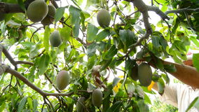 Agriculteur rassemblant le fruit tropical de mangue dans l'arbre manuellement clips vidéos