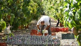 Agriculteur rassemblant le fruit tropical de mangue dans une plantation agricole un jour ensoleillé banque de vidéos