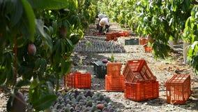 Agriculteur rassemblant le fruit tropical de mangue dans une plantation agricole un jour ensoleillé, inclinaison clips vidéos